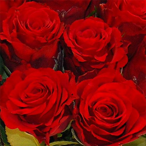 Premium Blumen Rosen